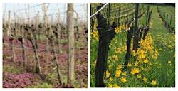 Weinreise zur Blüte der wilden Weinbergstulpe rund um Castell & Wiesenbronn
