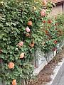 Rosen an der Hofmauer
