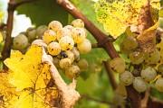 Weintrauben in der Abendsonne