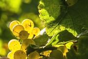 Weintrauben Nahaufnahme
