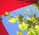 Weinranken Über der Terrasse