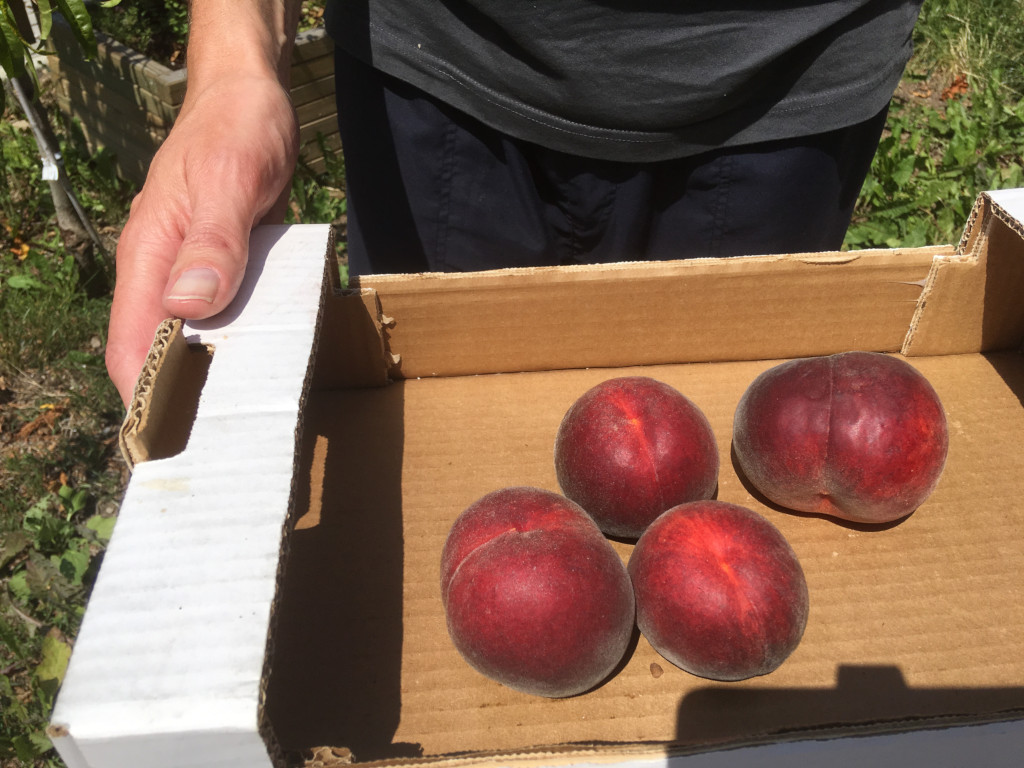 First vineyard peaches from the hotel garden