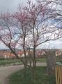 Blühende Weinbergspirsiche im Hintergrund Wiesenbronn